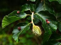 Buchen-Gallmuecke; Mikiola fagi;