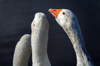 white domesticated geese