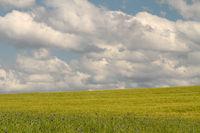 Getreidefeld mit Kornblumen