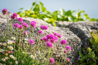 Pink sea thrift growing on a rock