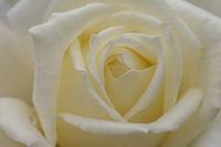 Weisse Rosenbluete (Rosa sp.)