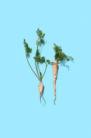Green parsley stalks with a root on a blue background with copy space. Healthy vegetable. Flat lay