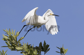 snowy egret that takes off from the top of a small tree on the lake