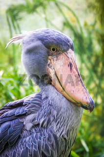 The Shoebill Balaeniceps rex also known as whalehead or shoe-billed stork.