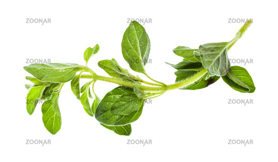 twig of fresh Oregano herb isolated on white