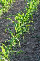 Junge Maispflanzen in Reihe diagonal