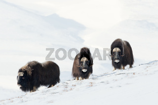 Three male Musk Oxen standing in snowy mountains