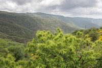 Edelkastanie in der Berglandschaft der Ardeche, Südfrankreich