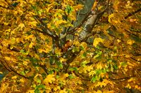maple tree with golden leafs in autumn