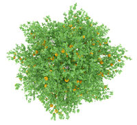 orange tree with oranges isolated on white background. top view. 3d illustration
