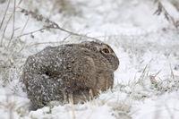 Feldhase im Winter / Europaeischer Feldhase / Lepus europaeus
