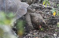 Galapagos-Riesenschildkröte (Chelonoidis nigra ssp) bei der Nahrungsaufnahme