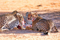 Geparde fressen Springbock, Kgalagadi-Transfrontier-Nationalpark, Südafrika, (Acinonyx jubatus) | Cheetahs eating a springbok, Kgalagadi Transfrontier National Park, South Africa, (Acinonyx jubatus)