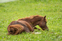 A brown horse lies on the green meadow