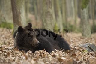 Rast im welken Laub... Europäischer Braunbär *Ursus arctos*