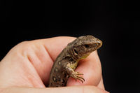 Lizard (Lacerta agilis) isolated on a black background