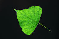 Spring green leaf on a dark background with copy space. Natural background. Flat lay