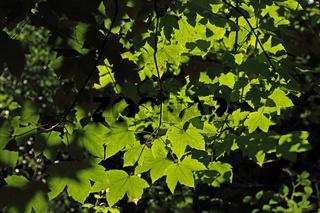 Ahornblaetter (Acer)
