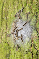 Oak process caterpillars in web on oak trunk