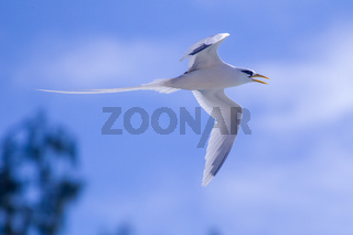 Weißschwanz-Tropikvogel (Phaethon lepturus)