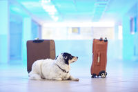 Border collie guards suitcases