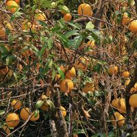 Citrus fruits growing near Shyaphru Besi, Nepal. Pomelo.