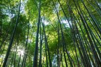 tranquil bamboo forest