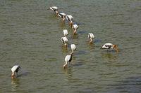 Painted Storks, Mycteria leucocephala Ranthambhore Tiger Reserve, Rajasthan, India