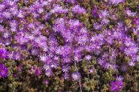Abundance pink flowers succulent plant