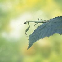 Female European Mantis or Praying Mantis on leaf