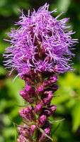 Prairie gay feather, Liatris spicata