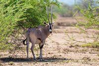 East African oryx, Awash Ethiopia