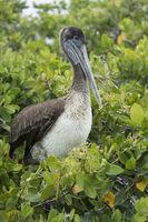 Brauner Pelikan (Pelicanus Occidentalis urinator), Santa Cruz Insel, Galapagos Inseln, Ecuador