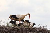 Weißstorch mit Jungvögeln im Nest,Fütterung