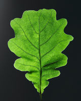 Closeup of oak green leaf with veins on black background with copy space. Top view