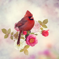 Male Northern Cardinal with rose flowers