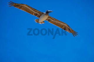 Brown Pelicans flying along the coastline of Padre Island NS, Texas
