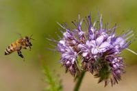 Biene am Bienenfreund