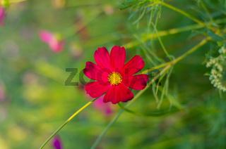 Red cosmos flowers garden. Cosmos flowers blooming in the garden.