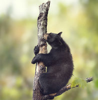 Black bear on a tree