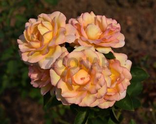 Rose: Jean Piat