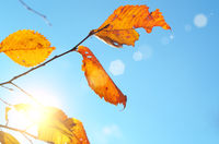 Yellow birch leaves during fall season against sunny blue sky