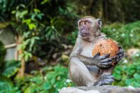Monkey eating a coconut