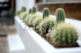 Close-up of cultivated cactuses in a row. Selective focus
