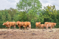 Herd of brown cows with calves in meadow