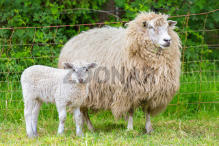 White mother sheep with newborn lamb