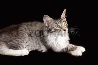 Maine Coon Kitten Posed Looking Up