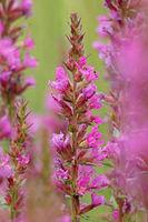Blutweiderich (Lythrum salicaria)
