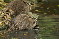 Some raccoons play outside by the water