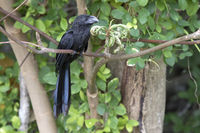 smooth-billed ani tree that sits on a tree branch at the edge of the forest